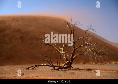 camel thorn, giraffe thorn (Acacia erioloba), dead tree in front of a dune in sandstorm, Namibia, Sossusvlei, Namib Naukluft National Park - Stock Photo