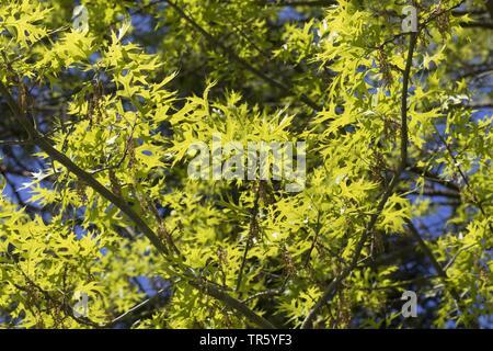 Sumpf-Eiche, Sumpfeiche, Boulevard-Eiche, Boulevardeiche, Nagel-Eiche, Nageleiche (Quercus palustris), bluehender Zweig mit frisch ausgetriebenen Blae - Stock Photo