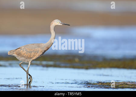 Reddish egret (Egretta rufescens), juvenile at the beach, USA, Florida, Fort Myers Beach - Stock Photo