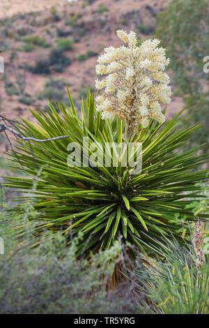 Faxon Yucca, Spanish-Bayonet, Spanish-Dagger, Palma de San Pedro (Yucca faxoniana), blooming, USA, Arizona - Stock Photo