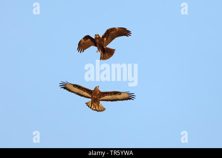 Eurasian buzzard (Buteo buteo), attacking female western marsh harrier in flight, Spain, Tarifa - Stock Photo