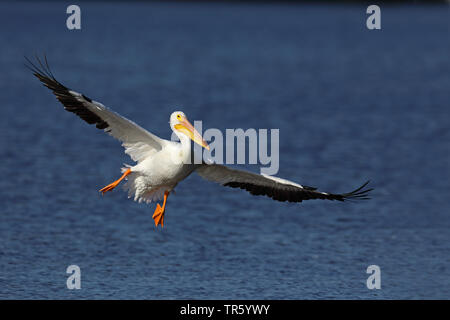 American white pelican (Pelecanus erythrorhynchos), landing on water, USA, Florida, Sanibel Island - Stock Photo