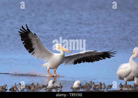 American white pelican (Pelecanus erythrorhynchos), landing on the water side, USA, Florida, Sanibel Island - Stock Photo