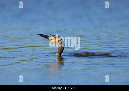 double-crested cormorant (Phalacrocorax auritus), gulping a fish, USA, Florida, Myakka National Park - Stock Photo
