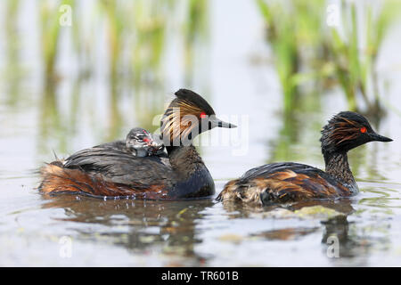 black-necked grebe (Podiceps nigricollis), swimming with chicks in the back plumage, side view, Netherlands, Groningen - Stock Photo