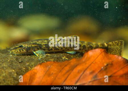 stone loach (Noemacheilus barbulatus, Barbatula barbatula, Nemacheilus barbatulus), on a stone, side view, Germany - Stock Photo