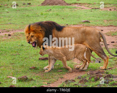 lion (Panthera leo), male lion snarling at a lion cub, side view, Kenya, Masai Mara National Park - Stock Photo