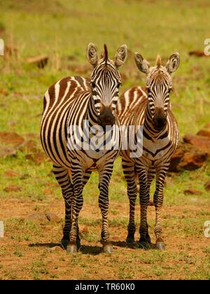 Boehm's zebra,  Grant's zebra (Equus quagga boehmi, Equus quagga granti), two zebras standing together in a meadow, front view, Kenya, Masai Mara National Park - Stock Photo