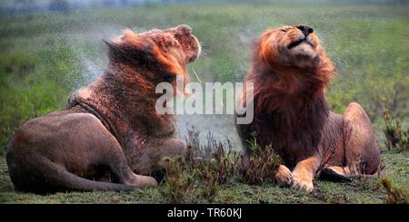 lion (Panthera leo), two lions shaking , Africa - Stock Photo
