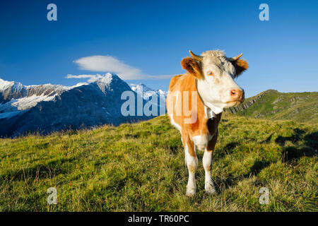 domestic cattle (Bos primigenius f. taurus), Fleckvieh standing on an alpine pasture, Eiger, Moench and Jungfrau in the background, Switzerland, Bernese Oberland - Stock Photo