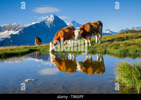 domestic cattle (Bos primigenius f. taurus), Fleckvieh standing on an alpine pasture and drinking out of an alpine lake, Eiger, Moench and Jungfrau in the background, Switzerland, Bernese Oberland - Stock Photo