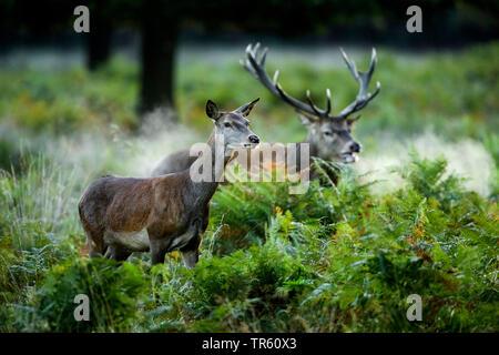 red deer (Cervus elaphus), pair standing in a forest, Switzerland - Stock Photo