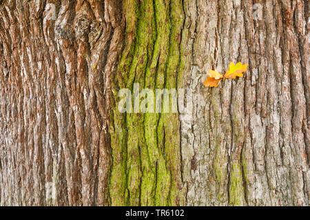 Stiel-Eiche, Stieleiche (Quercus robur. Quercus pedunculata), Eichenrinde von Algen ueberzogen, mit trockenen Eichenblaettern, Grossbritannien, Englan - Stock Photo