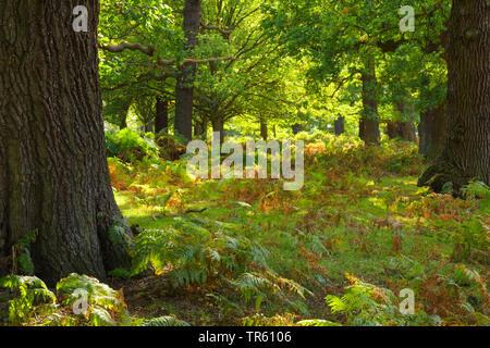 common oak, pedunculate oak, English oak (Quercus robur. Quercus pedunculata), oak forest in Richmond park with bracken fern, Pteridium aquilinum, United Kingdom, England, Richmond Park - Stock Photo