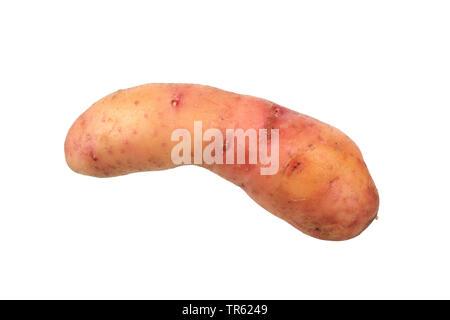 potato (Solanum tuberosum Bamberger Hoernchen), potato of cultivar Bamberger Hoernchen, cutout - Stock Photo