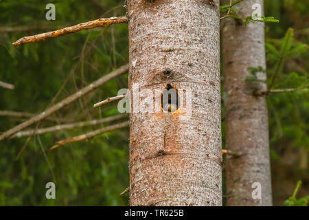 Eurasian nuthatch (Sitta europaea), building its nest in a black woodpecker cavity, Austria, Tyrol - Stock Photo
