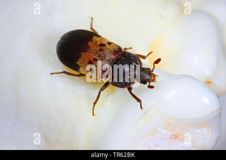 larder beetle, common larder beetle, bacon beetle (Dermestes lardarius), top view, Germany - Stock Photo