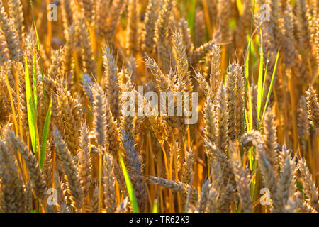 bread wheat, cultivated wheat (Triticum aestivum), mature wheat, Germany, Lower Saxony, East Frisia - Stock Photo
