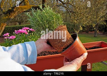 rosemary (Rosmarinus officinalis), woman remoting the plastik pot, Germany - Stock Photo