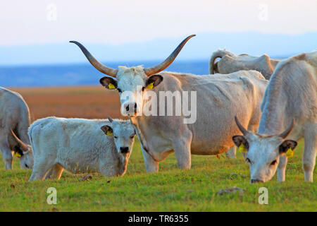 Hungarian Steppe Cattle, Hungarian Grey Cattle, Hungarian Podolian Steppe Cattle (Bos primigenius f. taurus), herd on pasture, Austria, Burgenland - Stock Photo