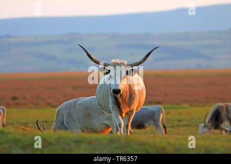 Hungarian Steppe Cattle, Hungarian Grey Cattle, Hungarian Podolian Steppe Cattle (Bos primigenius f. taurus), on pasture, Austria, Burgenland - Stock Photo