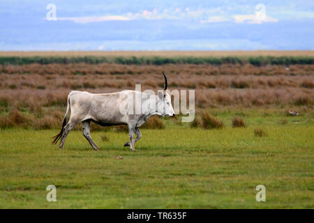 Hungarian Steppe Cattle, Hungarian Grey Cattle, Hungarian Podolian Steppe Cattle (Bos primigenius f. taurus), walking over a pasture, Austria, Burgenland - Stock Photo