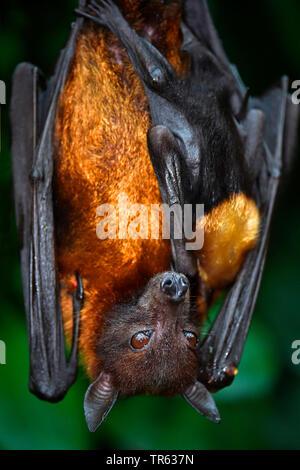 Flughund (Pteropus spec.), hanging at a branch, Suedostasien - Stock Photo