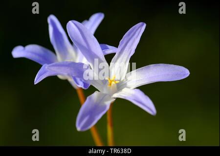 Schneeglanz, Schneestolz, Sternhyacinthe, Gewoehnliche Sternhyazinthe (Chionodoxa luciliae, Scilla luciliae, Chionodoxa luciliae), zwei Blueten   Glor - Stock Photo