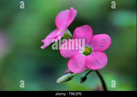 four-leafed clover (Oxalis tetraphylla 'Iron Cross', Oxalis tetraphylla Iron Cross, Oxalis deppei), flowers of cultivar Iron Cross - Stock Photo
