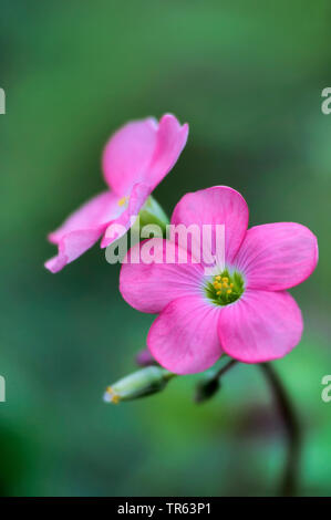 four-leafed clover (Oxalis tetraphylla 'Iron Cross', Oxalis tetraphylla Iron Cross, Oxalis deppei), flowers of cultivar Iron Cross - Stock Photo