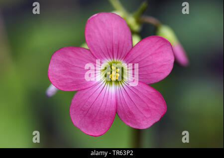 four-leafed clover (Oxalis tetraphylla 'Iron Cross', Oxalis tetraphylla Iron Cross, Oxalis deppei), flower of cultivar Iron Cross - Stock Photo