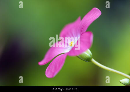 four-leafed clover (Oxalis tetraphylla 'Iron Cross', Oxalis tetraphylla Iron Cross, Oxalis deppei), flower of cultivar Iron Cross, lateral view - Stock Photo