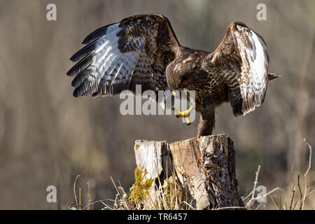 Eurasian buzzard (Buteo buteo), standing on one leg on a tree stump with outstretched wings, Germany, Bavaria - Stock Photo