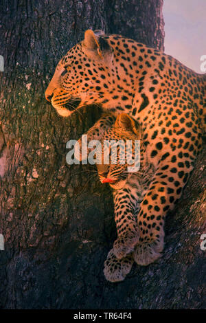 black leopard, black panther (Panthera pardus), leopardess sitting with a youngster in a tree , Botswana - Stock Photo