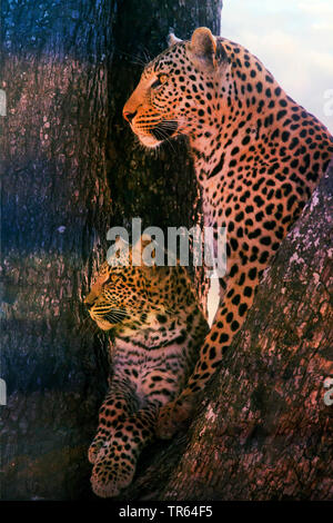 Leopard, Schwarzer Leopard, Schwarzer Panther, Schwarzer Panter (Panthera pardus), Leopardin sitzt mit einem Jungtier in einem Baum , Botswana | black - Stock Photo
