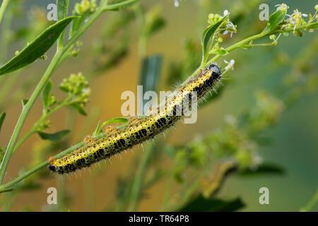 large white (Pieris brassicae), caterpillar at a stem, Germany - Stock Photo