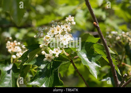 wild service tree (Sorbus torminalis), blooming branch, Germany - Stock Photo