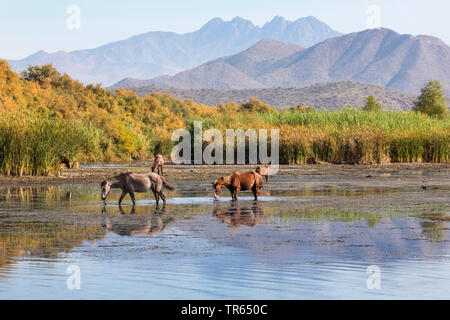 domestic horse (Equus spec.), wild mustangs feeding water plants in shallow water after long dryness, free-roaming horse, USA, Arizona, Salt river, Phoenix - Stock Photo