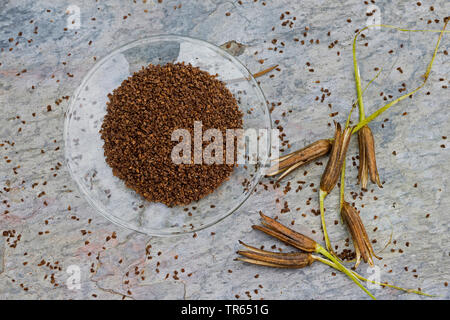 common evening primrose (Oenothera biennis), seed in a bowl, production of a evening primrose oil, Germany - Stock Photo