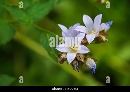 milky bellflower (Campanula lactiflora), flowers - Stock Photo