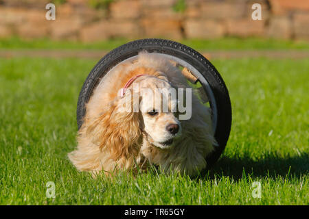 American Cocker Spaniel (Canis lupus f. familiaris), running through a tunnel, dog training, Germany, North Rhine-Westphalia - Stock Photo