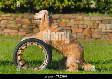 American Cocker Spaniel (Canis lupus f. familiaris), standing with forepawas on a tunnel, dog training, Germany, North Rhine-Westphalia - Stock Photo