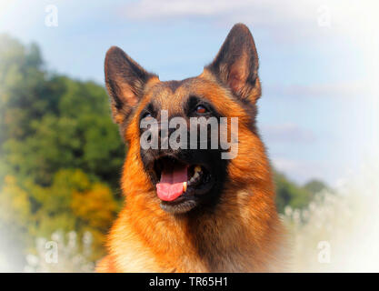 Malinois (Canis lupus f. familiaris), six years old male dog, portrait, Germany - Stock Photo