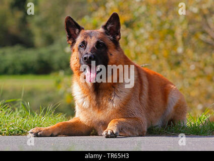 Malinois (Canis lupus f. familiaris), six years old male dog lying at the wayside, Germany - Stock Photo