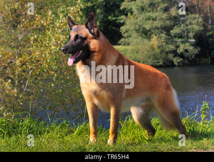 Malinois (Canis lupus f. familiaris), six years old male dog standing at a pond, Germany - Stock Photo