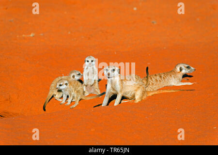 suricate, slender-tailed meerkat (Suricata suricatta), suricate family at a burrow, Namibia, Damaraland - Stock Photo