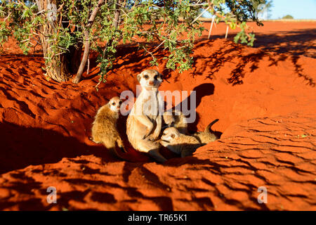 suricate, slender-tailed meerkat (Suricata suricatta), mother with young animals at a burrow, Namibia, Damaraland - Stock Photo
