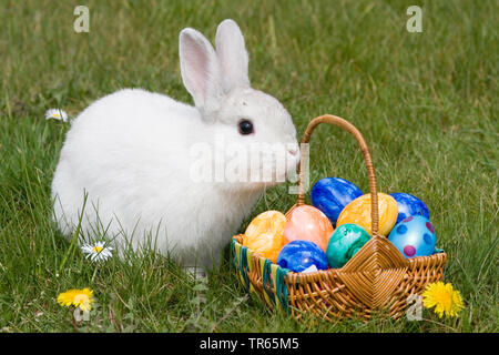 domestic rabbit (Oryctolagus cuniculus f. domestica), easter bunny with nest and eggs, Germany - Stock Photo