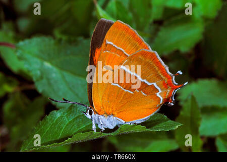 brown hairstreak (Thecla betulae), female sitting on a leaf, side view, Germany - Stock Photo
