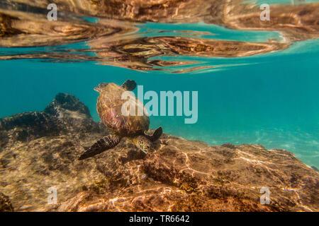 green turtle, rock turtle, meat turtle (Chelonia mydas), feeding algae from laval rocks, USA, Hawaii, Maui, Kihei - Stock Photo